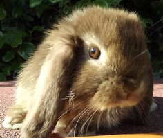Chocolate otter mini lop :) Mini Lop Bunnies, Crazy Animals, Bunny Art, Otters, Rabbits, Chocolate, Cute, Otter, Schokolade