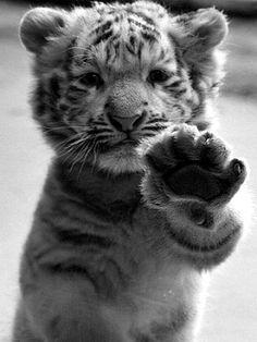 Tiger:)