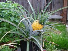 pineapple in pot