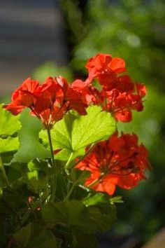 how to properly prune geraniums