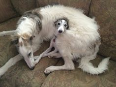 Borzoi and pup!