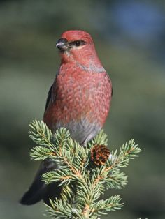 Pine #Grosbeak || #BirdLife || A•
