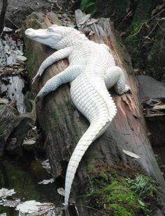 Albino Alligator you can see one of these in Alamosa, CO! Les Reptiles, Reptiles And Amphibians, Mammals, Animal 2, Mundo Animal, Beautiful Creatures, Animals Beautiful, Baby Animals, Cute Animals