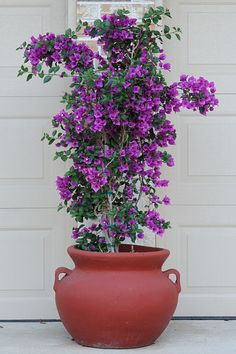 ❤ =^..^= ❤   Bougainvillea in the Frontyard