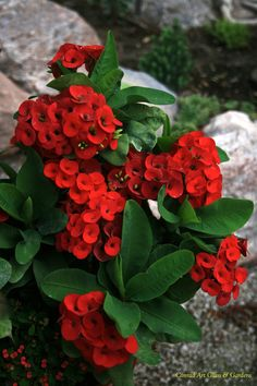 Crown of Thorns, Christ Plant, Christ Thorn (Euphorbia milii)