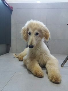 Afghan Hound Puppy, Hound Dog, Beautiful Creatures, Animals Beautiful, Doggies, Dogs And Puppies, Chinese Crested Powder Puff, Most Beautiful Dogs, Hyena