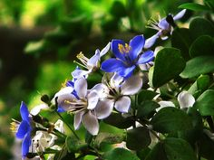 Tree of Life - Guaiacum officinale - Lignum Vitae (Snonymousj)