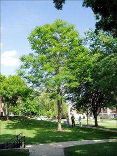 Kentucky Coffee Tree Gymnocladus dioicus  50x45  Zones 4-7