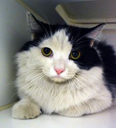 Petango.com – Meet Spike, a Domestic Longhair / Mix available for adoption in GOLDSBORO, NC
