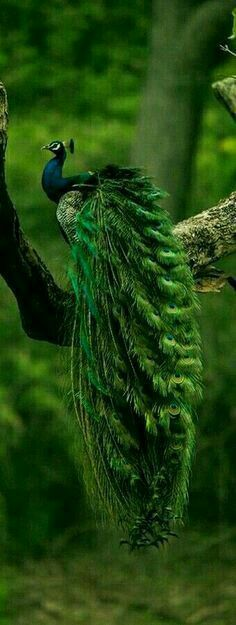 Peacock - Majestic beauty of Indian blue pied peafowl. The male is referred to as a peacock and the female a peahen, and both are peafowl. Pretty Birds, Love Birds, Beautiful Birds, Animals Beautiful, Nature Animals, Animals And Pets, Cute Animals, Exotic Birds, Colorful Birds