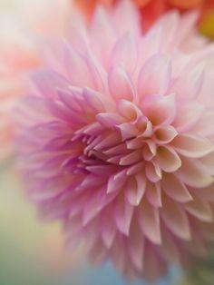 """Dahlia Pastel"" by Jane Fernald, via 500px. #Lensbaby #seeinanewway"