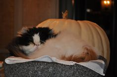 Empress Tang, Martha Stewart's Himalayan long-haired cat, gets some much deserved rest after a hard day's work!