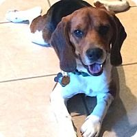 - Josh - 2 year old, Male Beagle To read Josh's story, visit our website: http://houstonbeaglerescue.org/index.php