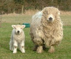 Greyface Dartmoor.  I want to sink my face into that wool!