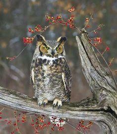 Long Horned Owl