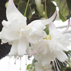 Fuchsia (Giant Trailing) White King Plants ONLY from Mr Fothergill's Seeds and Plants. Excellent for baskets & containers. Pretty Flowers, Planting Flowers, White Flowers, Fuchsia Plant, Plants, Fuchsia Flowers, Fuchsia Garden, Beautiful Flowers, Trailing Flowers