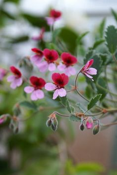 Pelargonium 'Renate Parsley' - Edgar's site