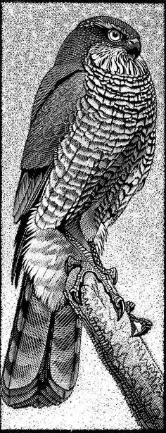 Sparrowhawk ~ Wood Engraving ~ Colin See-Paynton. ~ The Wildlife Art Gallery. hawk totem