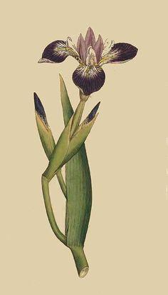21. Iris Versicolor. Particoloured Iris.