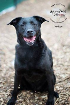 Meet Hudson - Needs Permanent Foster, an adoptable Black Labrador Retriever looking for a forever home. If you're looking for a new pet to adopt or want information on how to get involved with adoptable pets, Petfinder.com is a great resource.