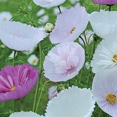 Cosmos bipinnatus 'Cupcakes' seeds from Thompson & Morgan - experts in the garden since 1855 Cosmos, Cosmos Flowers, Plants, Flower Farmer, Annual Plants, Wholesale Flowers, Cheap Flowers, Self Watering Plants, Flower Seeds