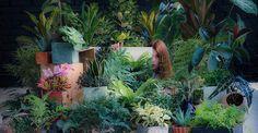 Salmiana Plants