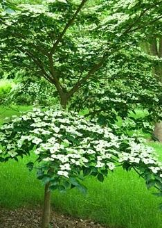 Cornus kousa 'Southern Cross' - Sir Harold Hillier Gardens/Hampshire County Council, Romsey, Hants, UK