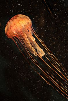 Deep sea the o 39 jays and strange animals on pinterest for Tap tap fish light jellyfish