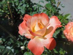 Róża wielkokwiatowa Sunset Boulevard