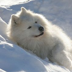 This sammie knows how to chill! Denmark -- Team Takotna Samoyeds.