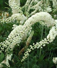 Cimicifuga racemosa - Juli-Silberkerze, Trauben-Silberkerze 4,7