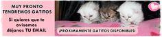 Gatitos Disponibles | Persas Chinchilla, Golden y Silver La Reina