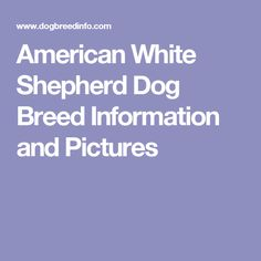 American White Shepherd Dog Breed Information and Pictures
