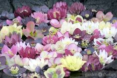 The beautiful, vigorous, and hardy hellebore blooms in the winter and early spring shade gardens before other plants awaken.