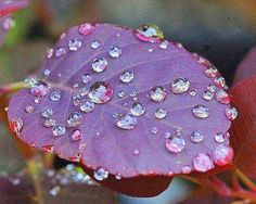 Rain Drops on Purple Leafed Plant ♥ Too pretty :) Dew Drops, Rain Drops, Photography Sites, Nature Photography, Morning Dew, Water Droplets, Mundo Animal, All Things Purple, Purple Rain