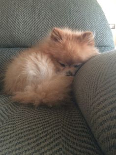 Thinking about bringing a Pomeranian puppy into your home? Here are a few things to know about the breed as a puppy. Source by The post Pomeranian Puppies: Cute Pictures And Facts & Dogtime appeared first on Gwen Howarth Dogs. Cute Baby Animals, Animals And Pets, Funny Animals, Wild Animals, Cute Puppies, Cute Dogs, Dogs And Puppies, Doggies, Puggle Puppies