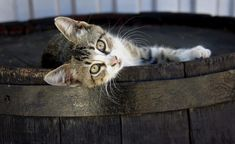 Cats and scotch? Read the story as to why cats have been an integral part of whisky production since distilleries opened their doors. Cute Baby Cats, Cute Kitten Gif, Kittens Cutest, Cats And Kittens, Kitty Cats, Crazy Cat Lady, Crazy Cats, Cat Body, Dog Rates