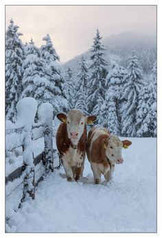 Cows out for a snowy stroll