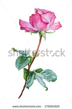 Watercolor with a Rose flower, pink rose realistic drawing, watercolor rose with leaves Arte Floral, Botanical Drawings, Botanical Prints, Rose Drawings, Watercolor Rose, Watercolor Paintings, Plant Drawing, Drawing Art, Color Pencil Art