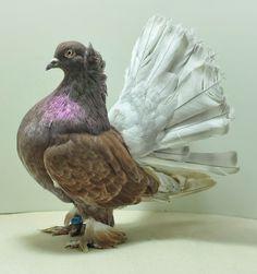 Last years minding winner, what a gorgeous bird Pigeon Cage, Pigeon Bird, Beautiful Friend, Beautiful Birds, Fantail Pigeon, Racing Pigeon Lofts, Racing Pigeons, Kinds Of Birds, Albino