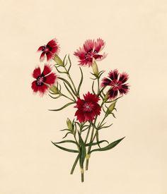 Caroline Maria Applebee -- Dianthus chinensis -- Caroline Applebee -- Artists -- RHS Prints
