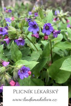 Korn, Garden Plants, Planting Flowers, Herbalism, Catalog, Herbal Medicine