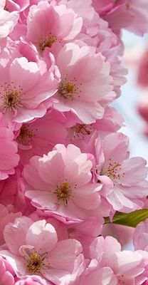 Pink (Cherry Blossoms)**.