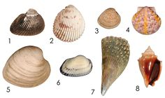 The common names of the species pictured are: (1) Ponderous ark; (2) Florida prickly cockle; (3) Cross-barred venus; (4) Calico scallop; (5) Southern quahog; (6) Transverse ark; (7) Stiff pen shell; and (8) Florida fighting conch.