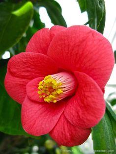 Camellia japonica Angel Plant, Sugar Flowers, Flower Photos, Watercolor Flowers, Flower Patterns, Wonders Of The World, Rose, Beautiful Flowers, Garden