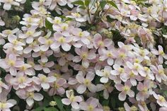 Will be planting a montana clematis this year.
