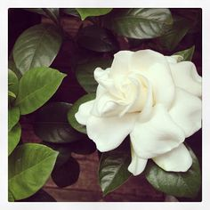 Gardenias have the most intoxicating scent!