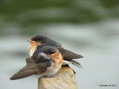 We'd Welcome An Insect Or Two... Juvenile Swallows - Manapouri Southland NZ