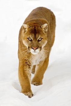 Cougar by Peter K. Burian