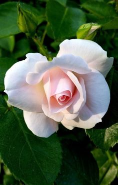 Unusual Flowers, Love Flowers, My Flower, White Roses, Pink Roses, White Flowers, Rose Pictures, Flower Photos, Pretty Roses